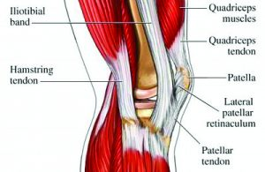 muscles_involved_in_knee_motion