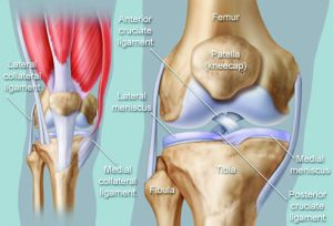 knee-joint-bones-ligaments