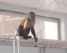Monkey in operating threatre at Port of  Spain hospital