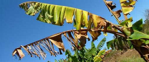 OECS says Fungus threatens banana and plantain trees