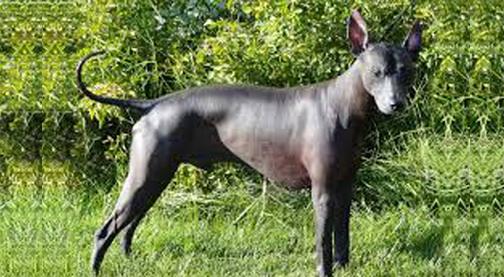 Peruvian hairless dogs reclaim their heritage