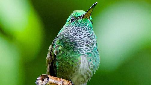 New Hummingbird species found in T&T